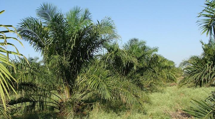 Imagen - Aceitedepalma.org, la web para consultar sobre el aceite de palma