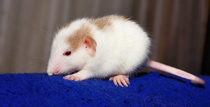 """Imagen - La """"rata que se baña sola"""", un vídeo viral desata la polémica sobre el maltrato animal"""