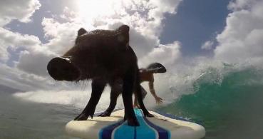 Kama, el cerdo surfista que triunfa en Internet