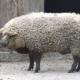 ¿Cerdo u oveja? El desafío viral triunfa en Facebook