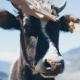 El último uso de la realidad virtual: vacas con gafas de VR
